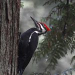 Pileated Woodpecker, 20 Dec 2016