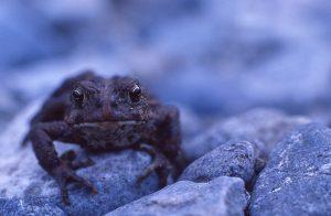 Western toad (Bufo boreas)